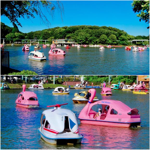 東山動植物園:沢山のスワンボート - 3
