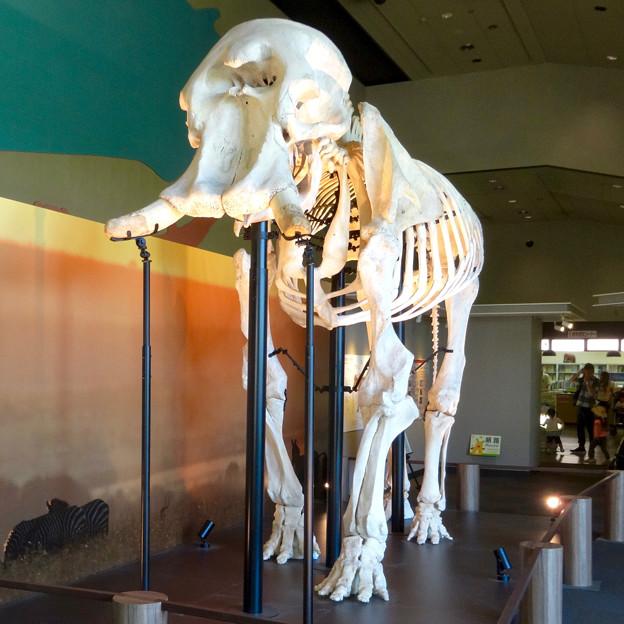東山動植物園 動物開館:アフリカ象の骨格標本 - 2