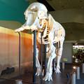 Photos: 東山動植物園 動物開館:アフリカ象の骨格標本 - 2