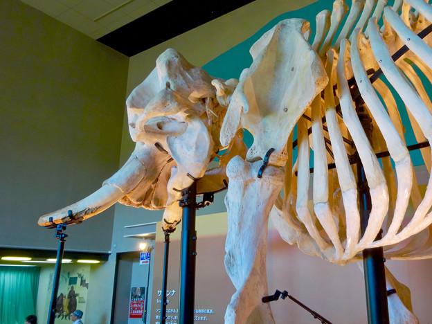 Photos: 東山動植物園 動物開館:アフリカ象の骨格標本 - 4