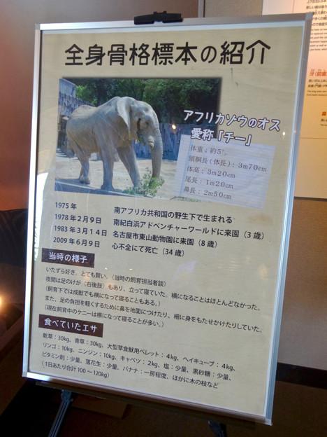 東山動植物園 動物開館:アフリカ象の骨格標本 - 5
