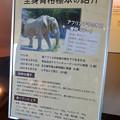 Photos: 東山動植物園 動物開館:アフリカ象の骨格標本 - 5