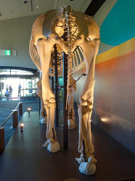 東山動植物園 動物開館:アフリカ象の骨格標本 - 7
