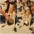 Photos: 東山動植物園:アカカンガルーの袋の中 - 13
