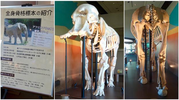 東山動植物園 動物開館:アフリカ象の骨格標本 - 10