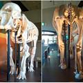 Photos: 東山動植物園 動物開館:アフリカ象の骨格標本 - 12