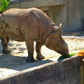 写真: 東山動植物園:食事中のインドサイ