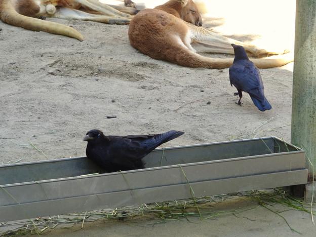 東山動植物園:アカカンガルー舎で遊ぶカラス - 1