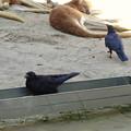 写真: 東山動植物園:アカカンガルー舎で遊ぶカラス - 1