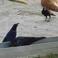 写真: 東山動植物園:アカカンガルー舎で遊ぶカラス - 2