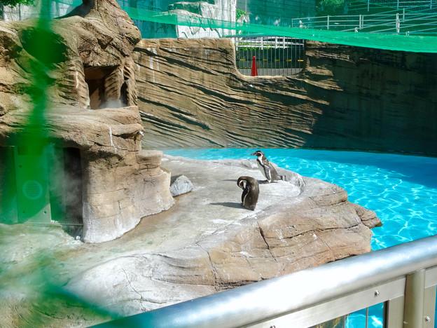 東山動植物園:ミストシャワーを浴びていた(?)フンボルトペンギン - 1