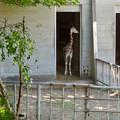 東山動植物園:獣舎の中から外を窺う子供のアミメキリン - 1