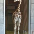 東山動植物園:獣舎の中から外を窺う子供のアミメキリン - 2