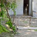 東山動植物園:獣舎の中から外を窺う子供のアミメキリン - 3
