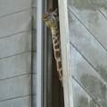 東山動植物園:獣舎の中から外を窺っていたアミメキリン - 3