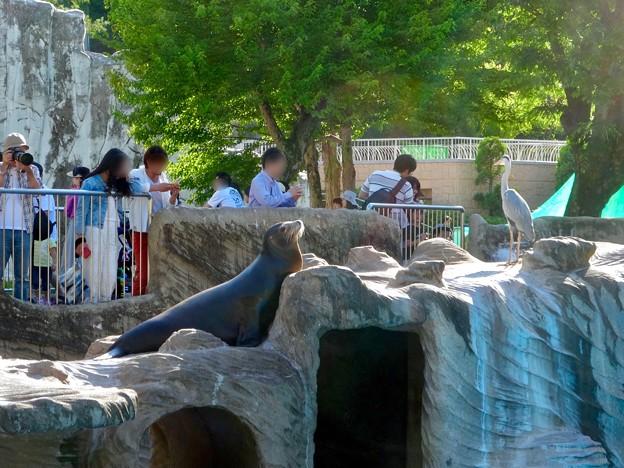 東山動植物園:我が物顔でアシカ舎を占拠してたアオサギ - 9