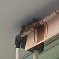写真: コンビニの軒先ですくすく育ってるツバメの子 - 1