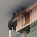 写真: コンビニの軒先ですくすく育ってるツバメの子 - 2