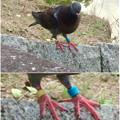 写真: 落合公園にいた競技用の鳩? - 10