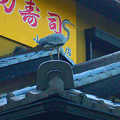 写真: 大山川沿いの寿司屋の前にいたアオサギ - 4