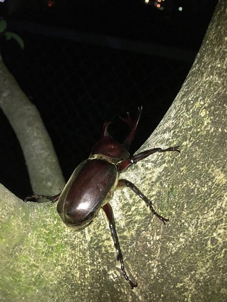 深夜出会った立派なカブトムシ - 1