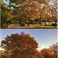 写真: すっかり秋の装いとなっていた落合公園の木々 - 4