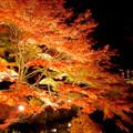 東山動植物園の紅葉ライトアップ 2017 No - 39