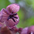 写真: アケビの花~