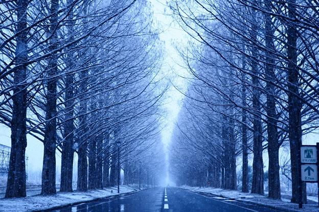 写真: メタセコイア並木 -冬-
