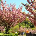 写真: 八重さくら カンザシの咲く!