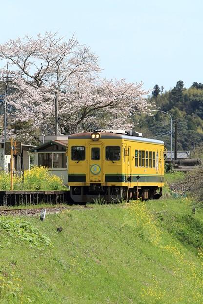 写真: ムーミン列車と桜 002