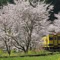 いすみ350形と桜並木 002