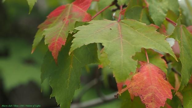 光のパレット ハナノキ (カエデ科)秋の気配