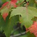 写真: 光のパレット ハナノキ (カエデ科)秋の気配
