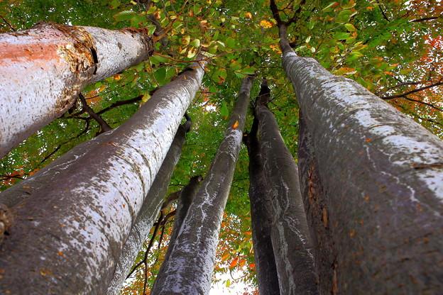 ケヤキの木が並ぶ (舎人公園)