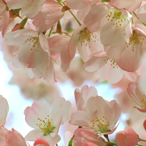 都市農業公園の桜