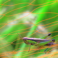 写真: イナゴとネット