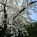 公園の桜・・・しだれ?