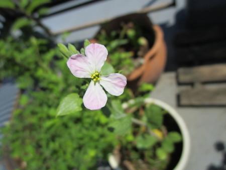 ラディッシュ伸ばしすぎたら花が咲いた