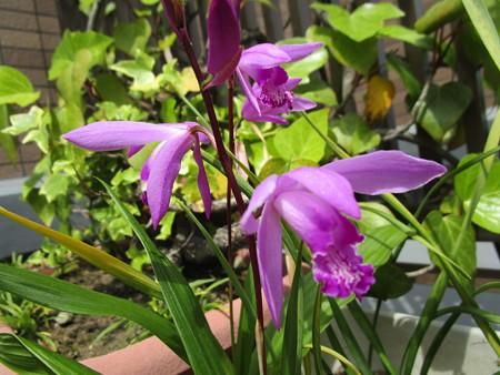 紫蘭ちゃん