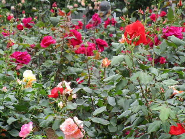 写真: 赤いバラ
