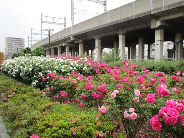 写真: 駅前も綺麗に咲いています