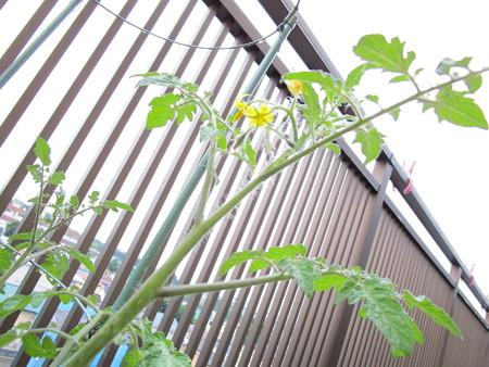 ロヂャースミニトマトの花