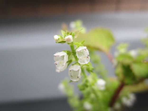 シソの花が満開(?)だ(≧∇≦)ノ彡