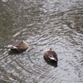 2羽の鴨さん