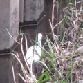 Photos: シラサギさん、見つけた(≧∇≦)ノ彡