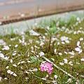 Photos: Shibazakura_OLYMPUS_PEN_FT_Kodak_PORTRA160NC_05092011-01