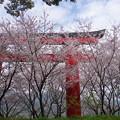 赤い鳥居と桜