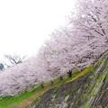 桜並木は健在でした