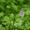 緑の中のスジグロチョウ